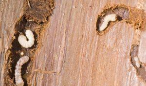 Как защитить дерево от паразитов